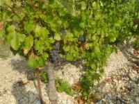 Le vignoble
